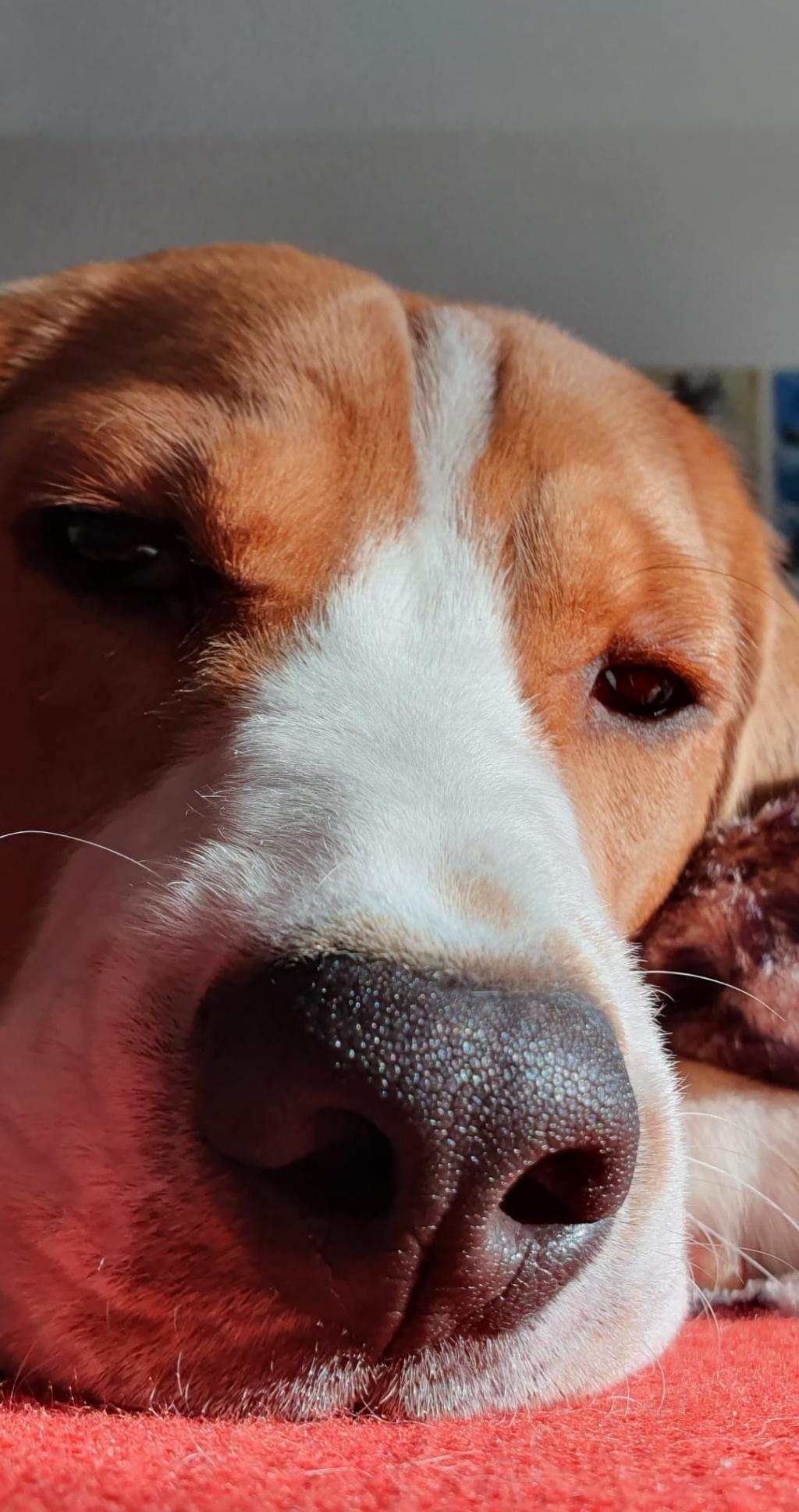 Beagle puppy care: 1 evening/week